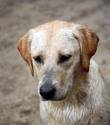Free Puppy Labrador Royalty Free Stock Images - 6219509