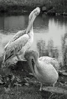 Free Pelicans In Black And White Royalty Free Stock Photos - 6219658