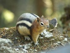 Free Fat Chipmunk Stock Photography - 6219672