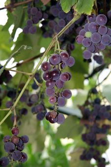 Free Grape Royalty Free Stock Photography - 6219677