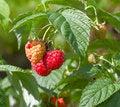 Free Beautiful Red Raspberries Royalty Free Stock Image - 6220466