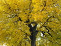 Free Yellow Tree Stock Photos - 6222423