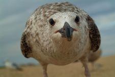 Super Close Seagull Royalty Free Stock Photos