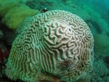 Free Symmetrical Brain Coral Royalty Free Stock Photography - 6222607