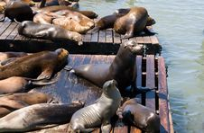Free Sea-lions Stock Images - 6223024