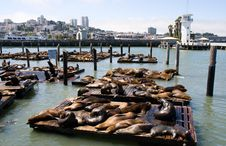 Free Sea-lions Royalty Free Stock Photography - 6223077