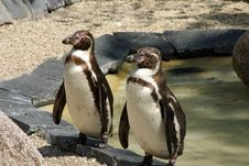 Free Two Penguins Royalty Free Stock Photography - 6224337