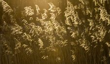 Bent Grass Royalty Free Stock Images