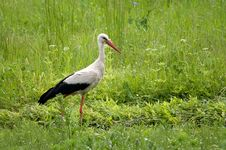 Free Stork On A Spring Meadow Royalty Free Stock Image - 6225296