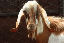 Free Lop-eared Goat Stock Photography - 6225522