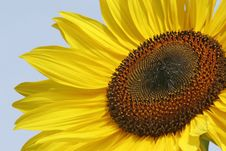 Free Sunflower Background Royalty Free Stock Photo - 6225695