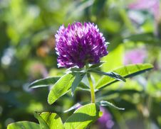 Free Beautiful Clover Stock Photo - 6225880