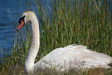 Free White Swan Stock Image - 6226671