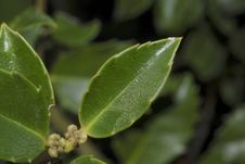 Free Holly Leaves 1 Royalty Free Stock Images - 6226759