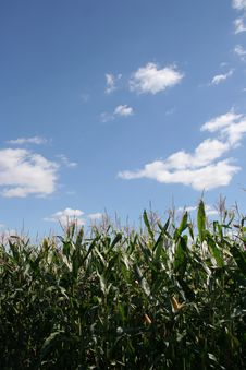 Free Corn Field Royalty Free Stock Image - 6226906