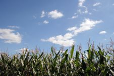 Free Corn Field Stock Images - 6226934