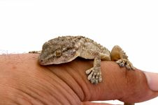 Moorish Gecko (Tarentola Mauritanica) Royalty Free Stock Photography