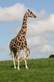 Free Giraffe Stock Images - 6227884
