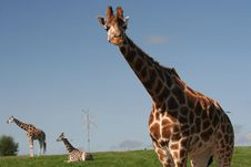 Free Giraffes Royalty Free Stock Photo - 6227965