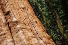 Free Giant Sequoia Tree Trunk Stock Image - 6228061