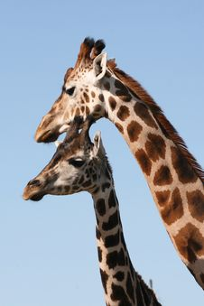 Free Giraffes Royalty Free Stock Images - 6228079