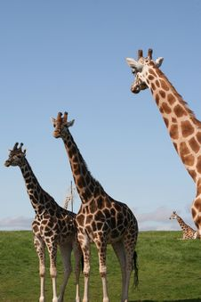 Free Giraffes Royalty Free Stock Images - 6228109