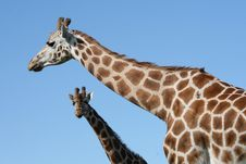 Free Long Giraffe Neck Royalty Free Stock Image - 6228136