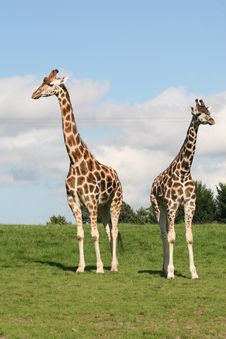 Free Giraffes Royalty Free Stock Images - 6228259