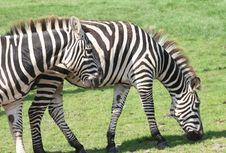 Zebras Couple Royalty Free Stock Photos