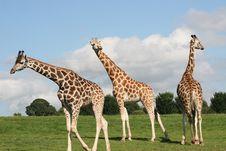 Free Giraffes Stock Image - 6228301