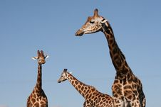 Free Giraffes Observatory Stock Image - 6228541