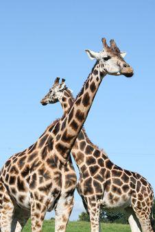 Free Giraffes Stock Images - 6228564