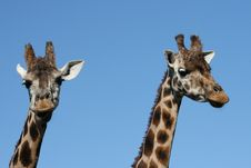 Free Giraffes Royalty Free Stock Photos - 6228578