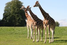 Free Giraffes Stock Image - 6228611