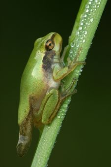 Free Tree-frog Royalty Free Stock Photography - 6228717