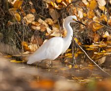 Free Snowy Egret In Autumn Stock Photo - 6228720
