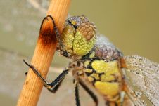 Extreme Closeup Of Dragonfly Royalty Free Stock Images