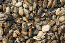 Free Clam Background Royalty Free Stock Photos - 6228998