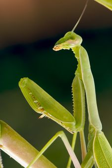Free Praying Mantis Stock Image - 6229481