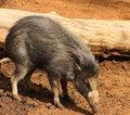 Free Baby Warthog Stock Image - 6230081