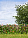 Free Rural Fence With Flowers Stock Image - 6236881