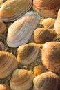 Free Golden Seashells Stock Photos - 6239743