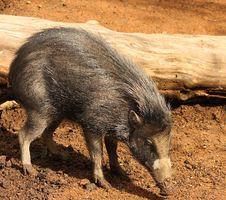 Baby Warthog Stock Image