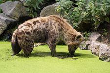 Free Hyena Royalty Free Stock Images - 6230089