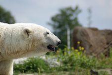 Free Polarbear Stock Photos - 6230093