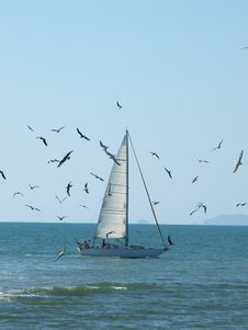 Free Seagulls Around A Sailing Boat Royalty Free Stock Photo - 6230115