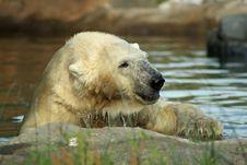 Free Polar Bear Stock Photos - 6230133