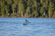 Free Pelican On The Lake Stock Images - 6230524