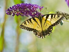 Free Yellowtail Butterfly Stock Photo - 6231620