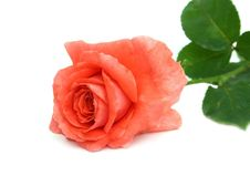 Free Scarlet Rose Stock Photography - 6231682